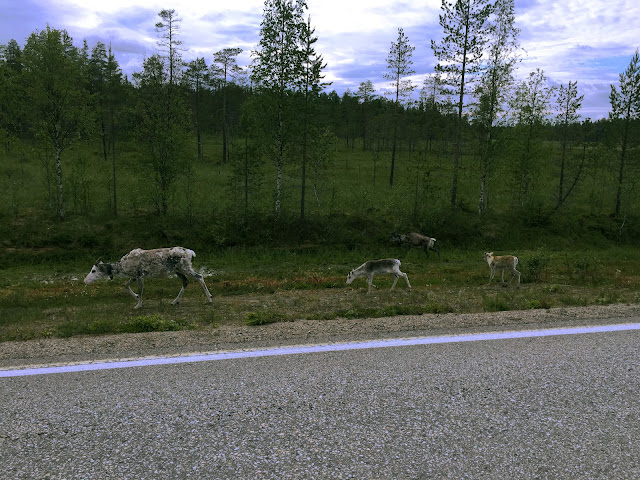 The Great Finnish Road Trip, Reindeer Family, Reindeer in road, wild reindeer, Lapland