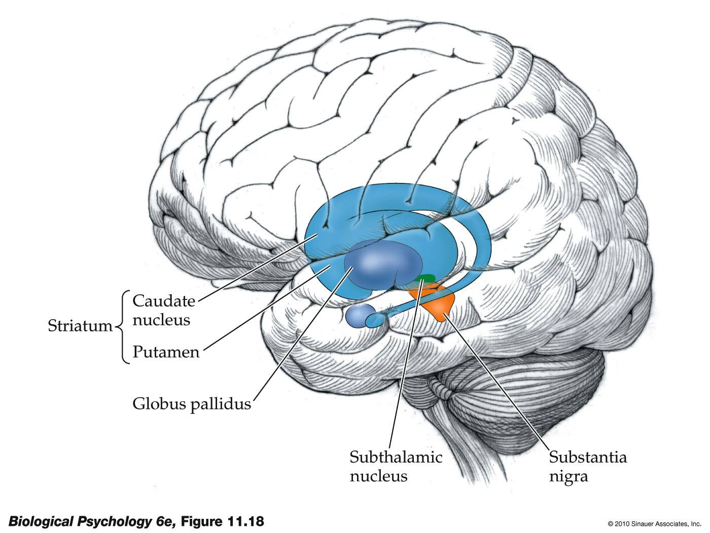 life after being a student my mission to learn neurological  : basal ganglia diagram - findchart.co