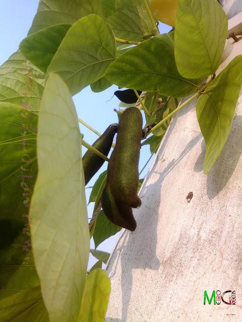 Metro Greens: Some velvet beans.