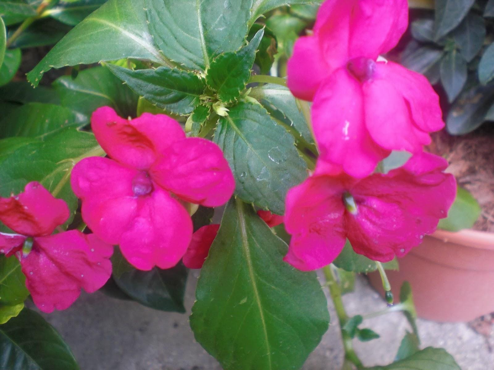 Perfumes y luces de extremadura alegria de la casa impatiens walleriana mis flores - Planta alegria de la casa ...
