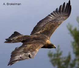 Golden Eagle (adult)