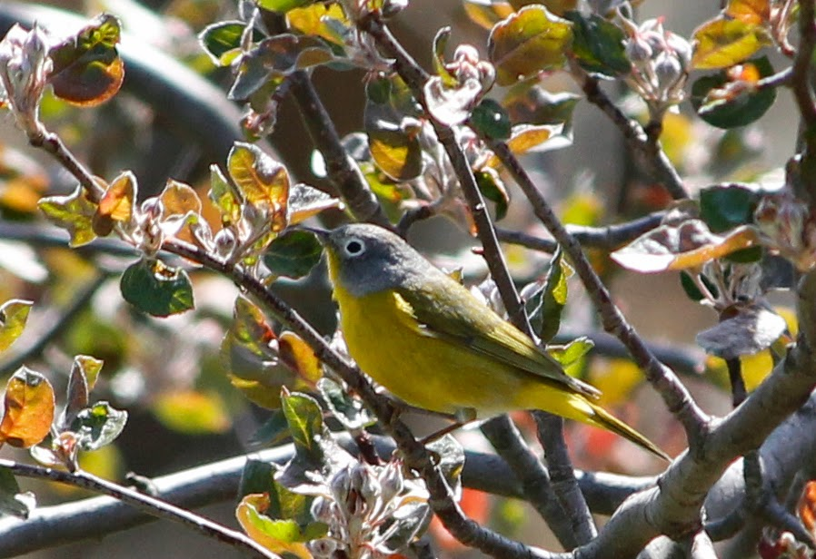 nashville warbler in the yard