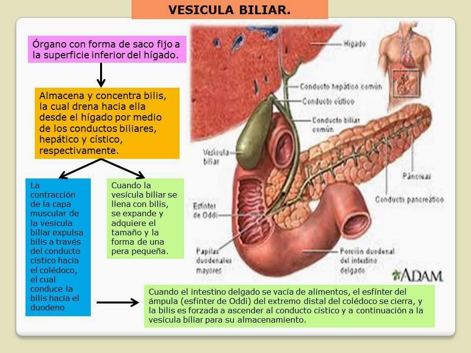 Lujoso La Anatomía Y La Fisiología De La Vesícula Biliar Fotos ...