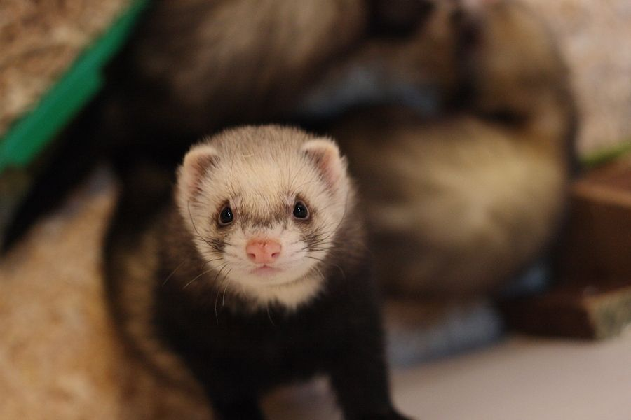 21. Ferret by Ant Chippendale