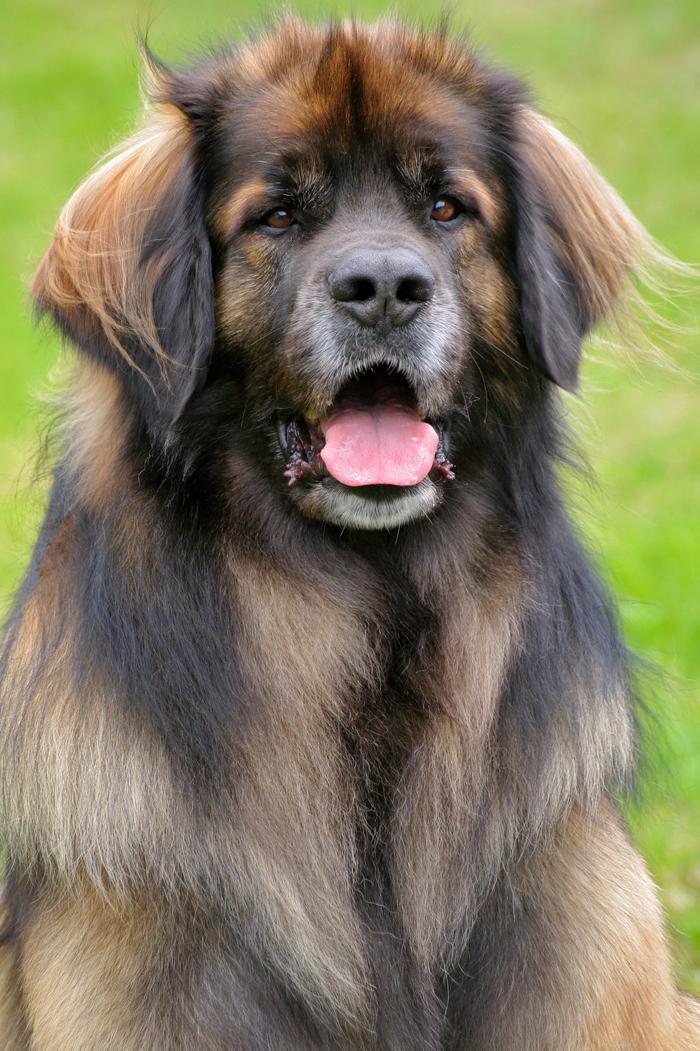 Leonberger dog breed pictures leonberger dog 1900 x 1363 download