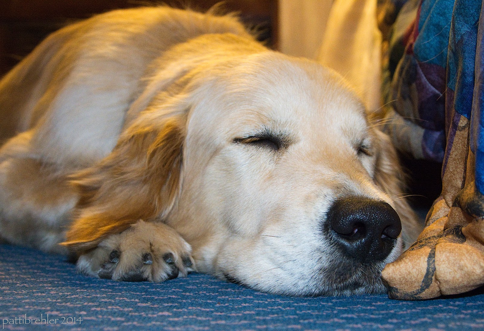 A close up shot at floor level of a golden retriever sleeping on the floor. The golden has his chin between his front paws and is facing the camera. The carpet is teal blue and to the right of hte dog's head is a multi-colored bedspread.