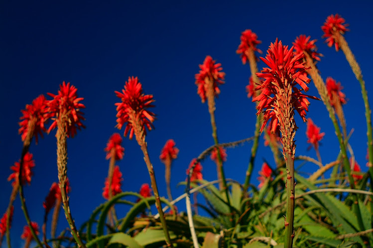 Torch Aloe