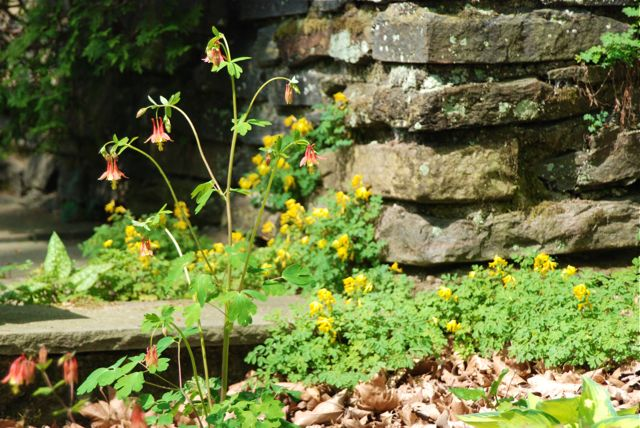 One more of Aquilegia canadensis, this time with Corydalis lutea.