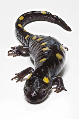 Salamander tompok