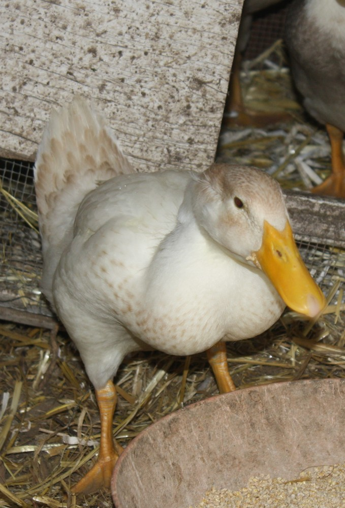 edible garden ducks   garden