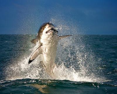 tiburón saltando mordiendo una presa