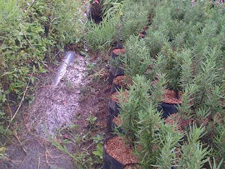 rosemary pengusir nyamuk