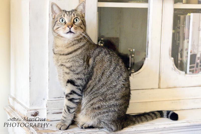 gatto tigrato europeo