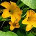 Kabak Çiçeği Ne Zaman Toplanır?