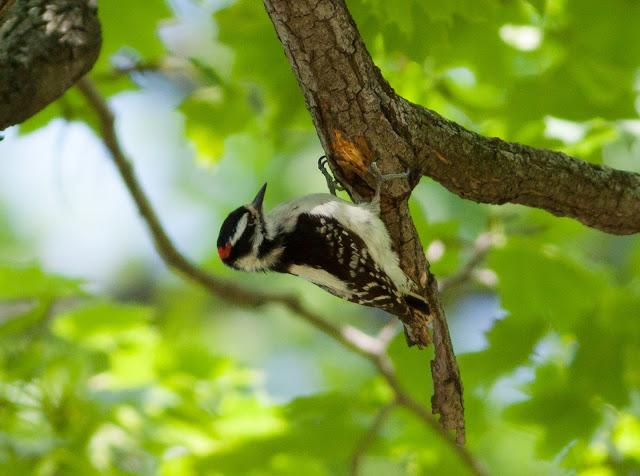 Downy Woodpecker - Greenwood Cemetery, New York