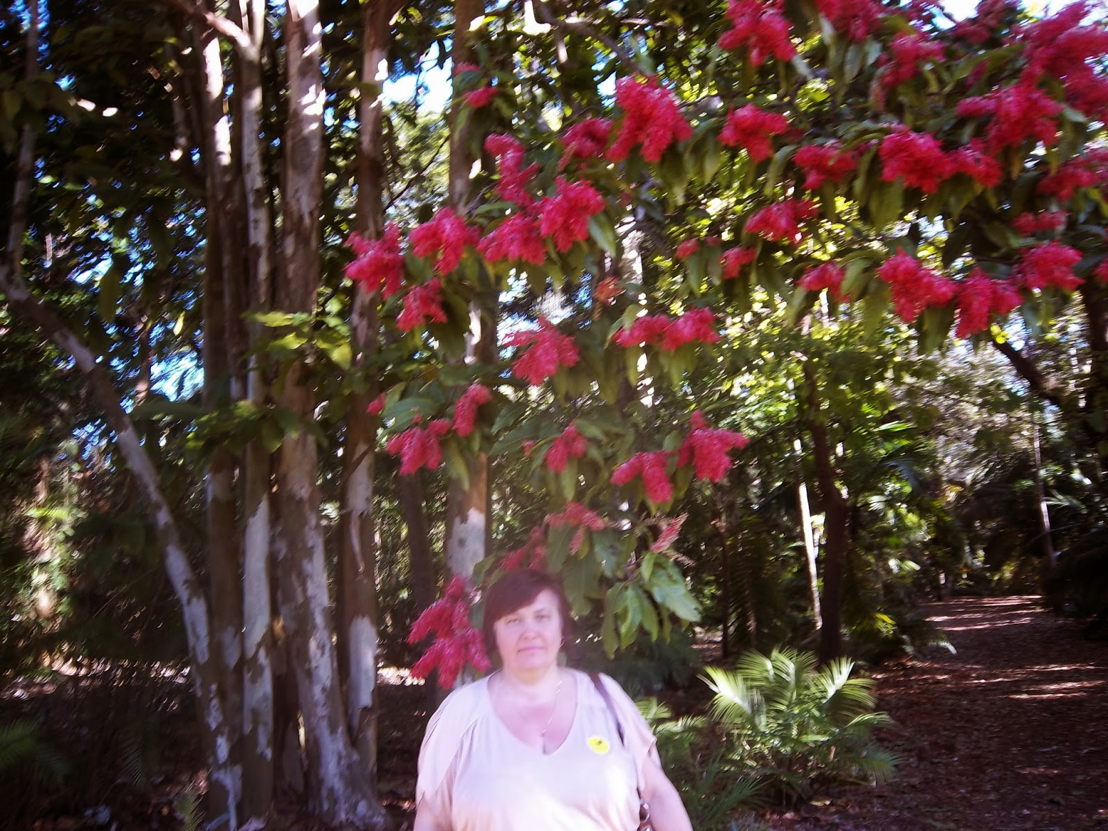 Liliana usvat reforestation and medicinal use of the trees the andes between panama and bolivia with large glossy leaves cream colored flowers on male trees and pink to bright red flowers on female trees mightylinksfo