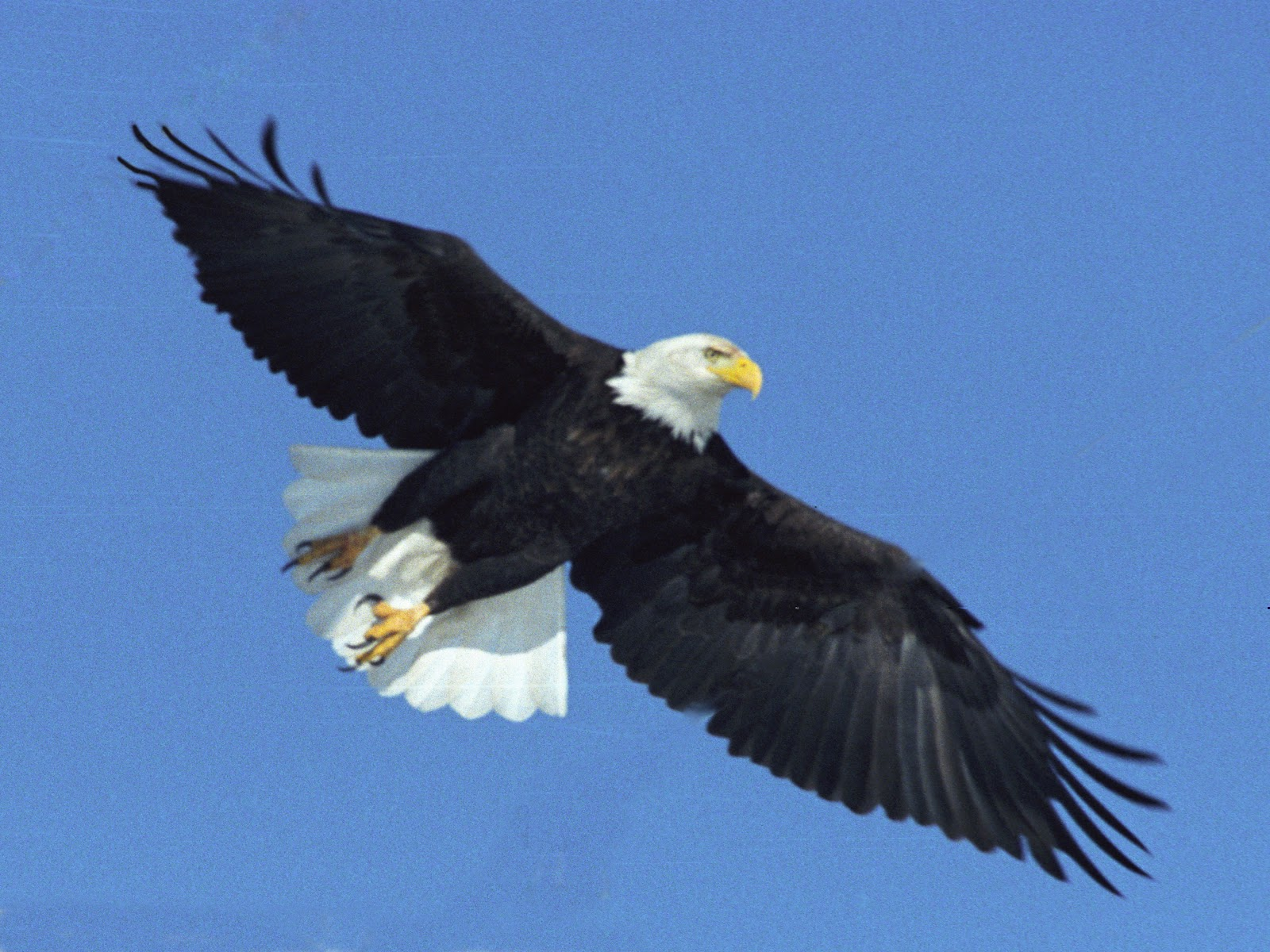 pictures of eagle