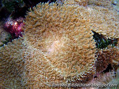 Corallimorphs