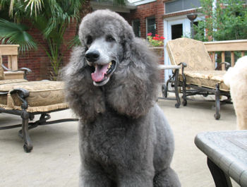 Image Gallery Silver Poodle