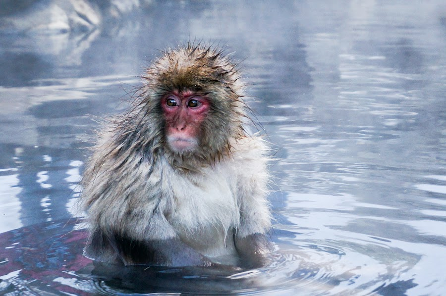 Although I Had Practiced My Japanese In Order To Communicate With The Seemingly Enlightened Monkeys None Of Spoke Me