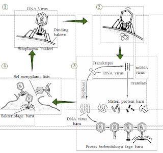 Daur litik pada bakteriofage. i manakah tahap translasi ter adi ?