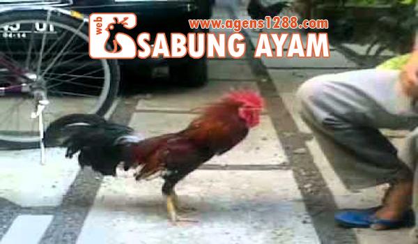 Cara Menjinakkan Ayam Galak yang Suka Nyerang Orang