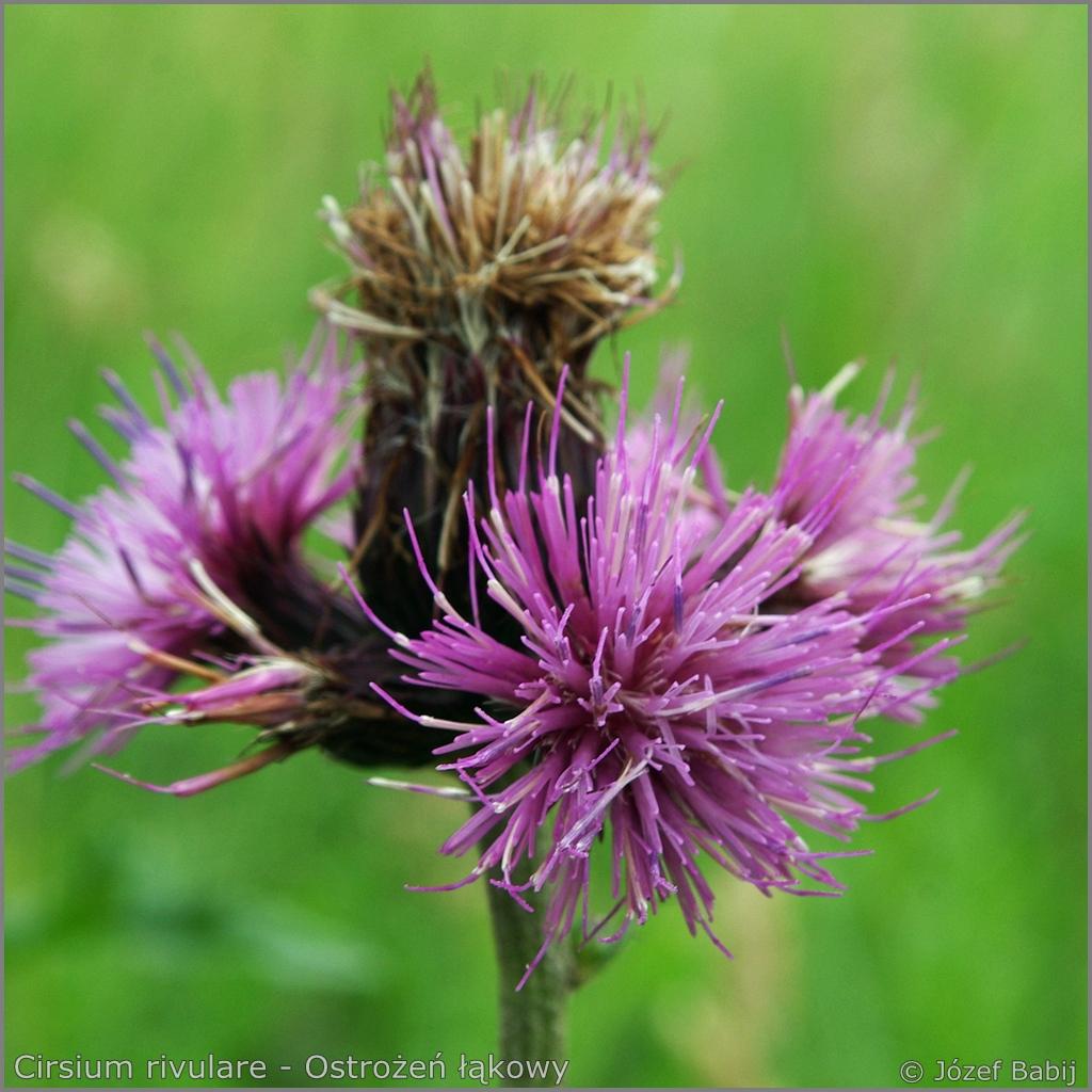 Cirsium rivulare inflorescence  - Ostrożeń łąkowy  kwiatostan