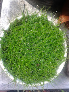Dwarf Hairgrass Elocharis acicularis forsale in Cebu giobel koi center