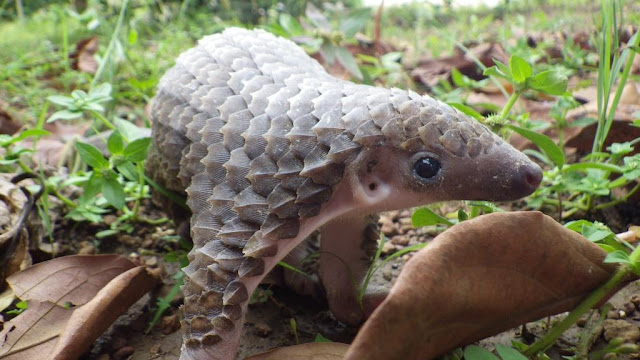 cute baby pangolin, funny animal pictures, animal photos, funny animals