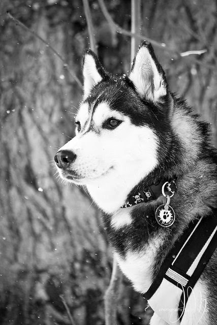 5 Amazing facts about Siberian Huskies