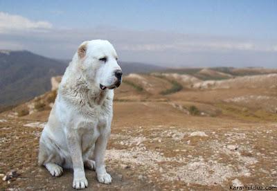 Алабай среднеазиатская овчарка лижет мочу