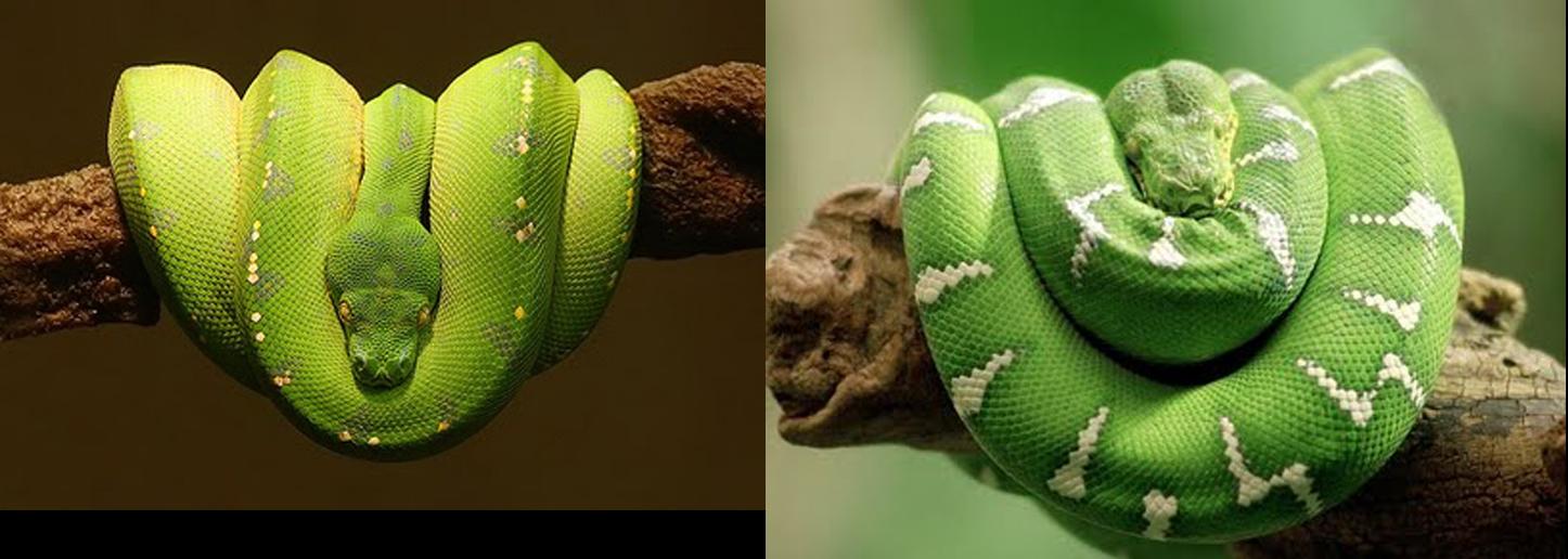 What a wonderful world green tree python and emerald tree boa