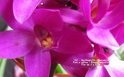 Spathoglottis unguiculata do blogdabeteorquideas