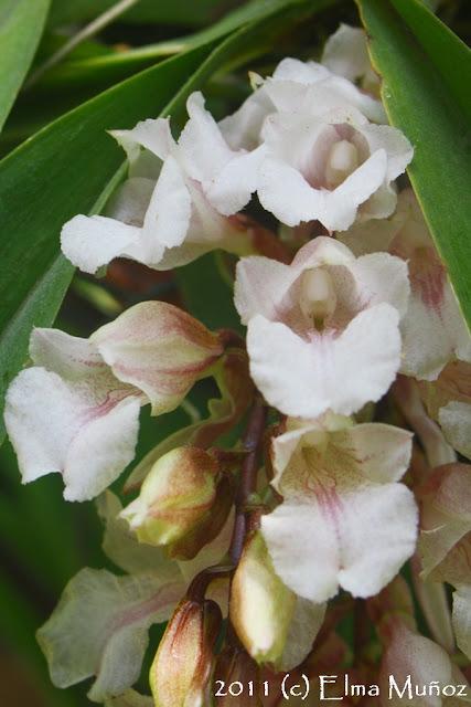Rodriguezia batemanii