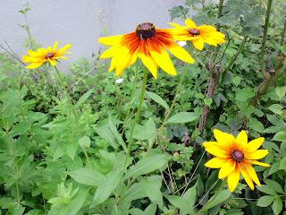 病棟裏に咲くヒマワリのような花
