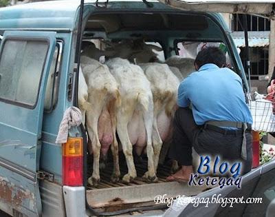 Cara menjual susu kambing di China