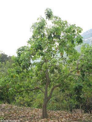 Sangrando en verde blanco negro amarillo los zapotes for Cuanto mide un arbol