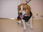 Beagle Boy