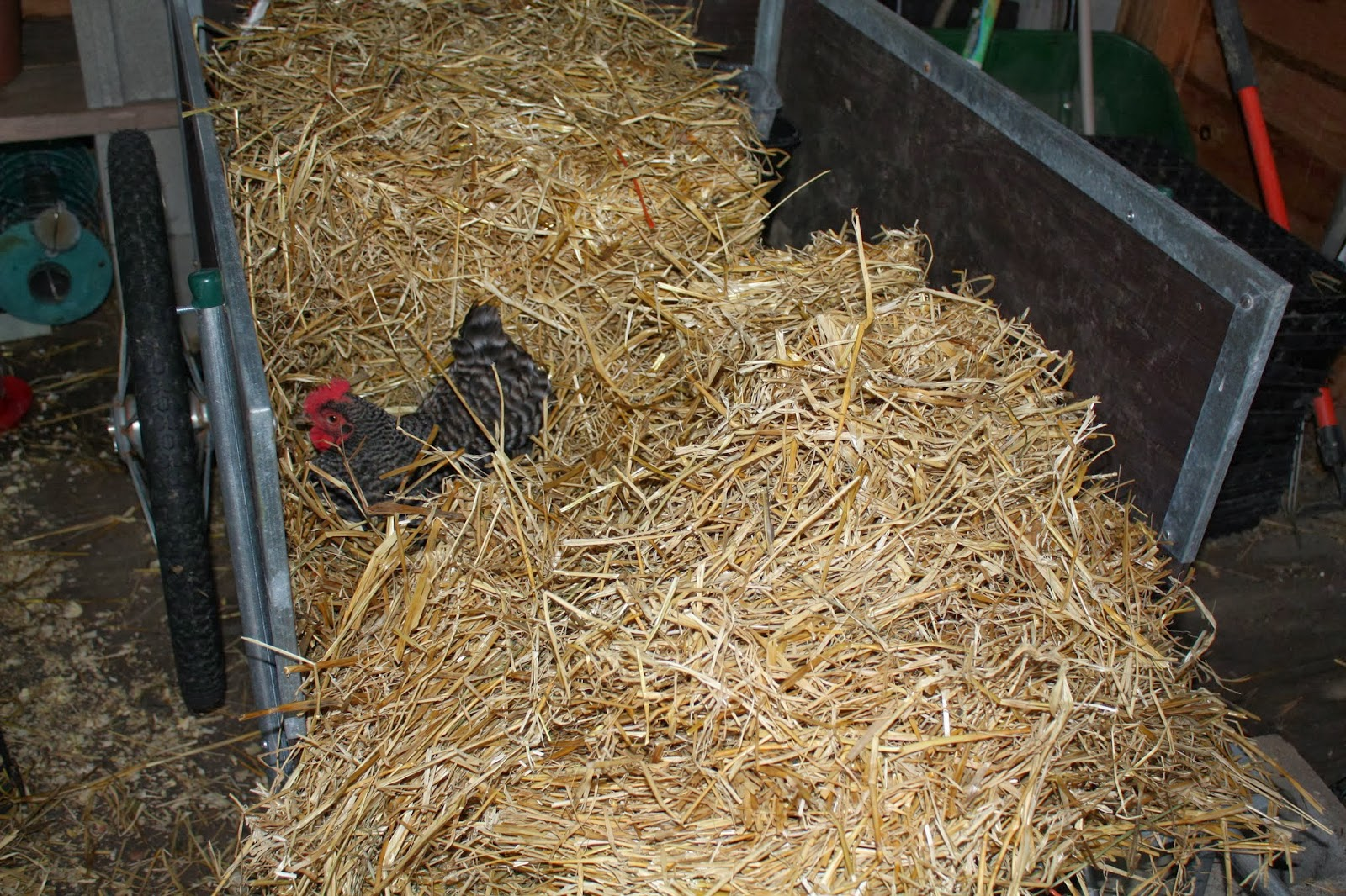 It Takes Some Convincing To Get The Chickens To Use The Tunnel Elliott,  Chicken Whisperer