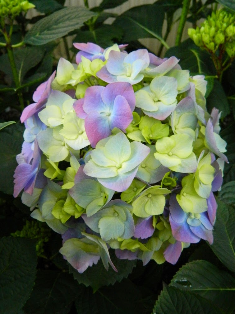 Light blue purple Hydrangea Macrophylla Allan Gardens Conservatory 2014 Easter Flower Show garden muses-not another Toronto gardening blog