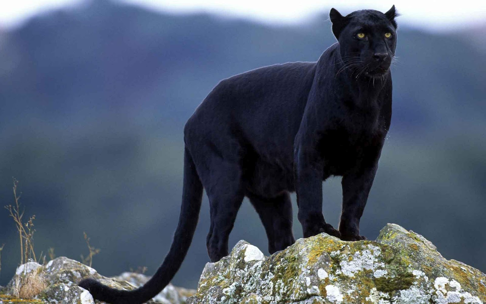 Black Puma With Yellow Eyes