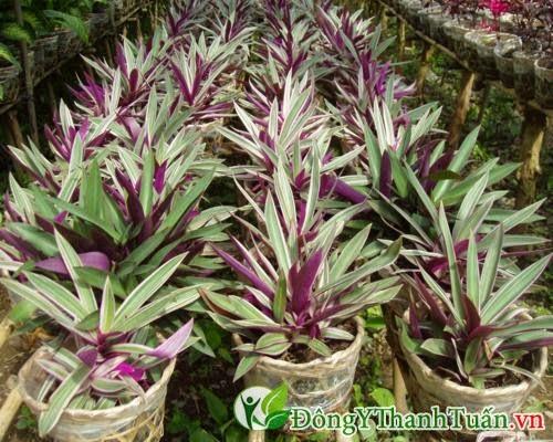 Bài thuốc mát gan giải độc bằng hoa sò huyết
