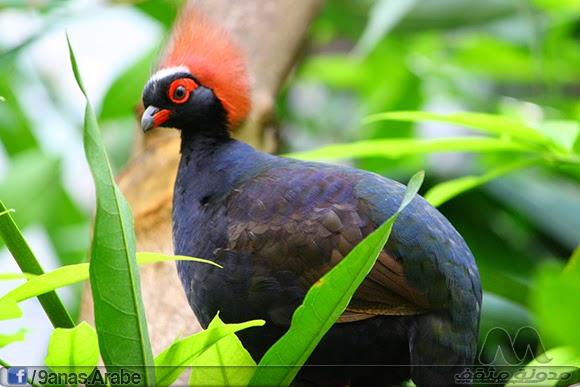 يقيم هذا النوع في الغابات المطيرة والأراضي المنخفضة في جنوب بورما، جنوب تايلاند وماليزيا وسومطرة وبورنيو. يضع ما بين 5 إلى