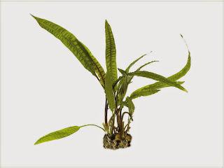 gambar-Cryptocoryne-Crispatula-tanaman-rosette-aquacape