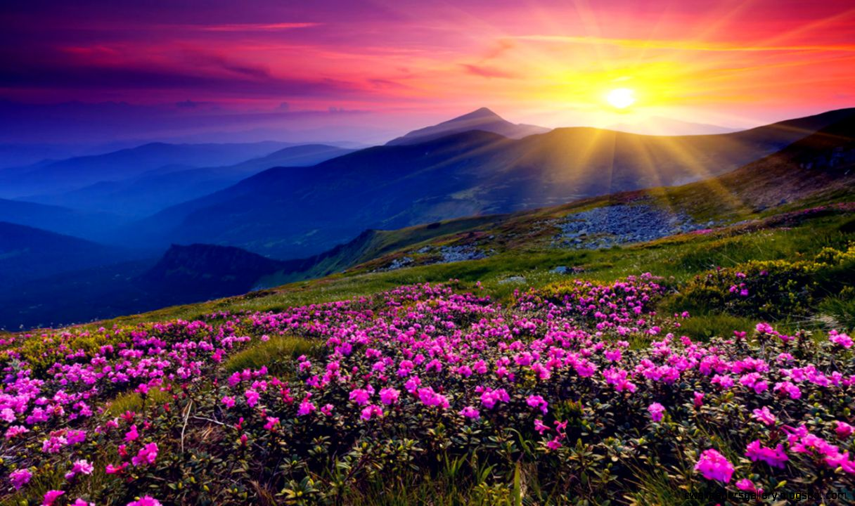 Open beautiful valley full of pink and purple flowers sunset