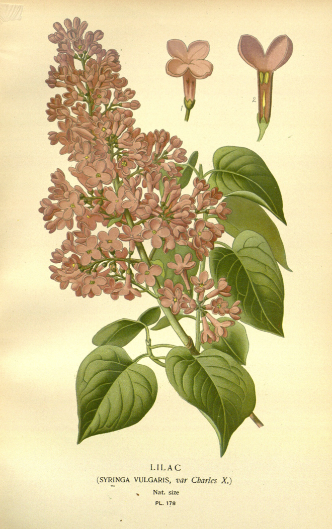 Lilac, Edward Step, Favorite Flowers of Garden and Greenhouse, 1896-97