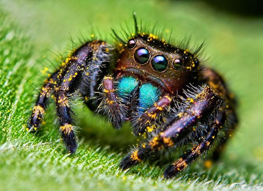 Macro Photos Of Cute And Cuddly Jumping Spiders