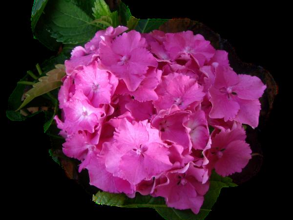 Flortograf a homenaje del mes de junio a las hortensias - Cuando podar las hortensias ...