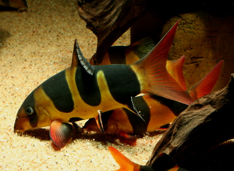 Botia tiger loach fish for Clown loach fish
