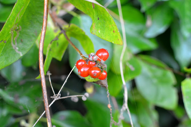 Autumn Woodland Walk red berries